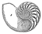 chambered-nautilus-granger_clipped_rev_3