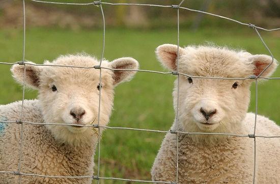 Ram lambs.JPG