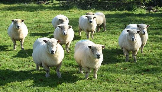 Ewes.jpg