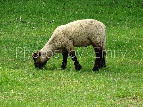 Grazing in Lancaster County 8x10 matted photo