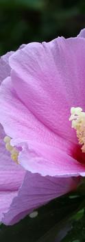 rose-of-sharon-3569487_960_720.jpg
