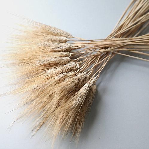 Natural Triticum Wheat Bunch - Golden