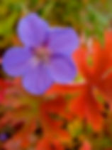 Geranium-Brookside-Autumn color copy.jpg