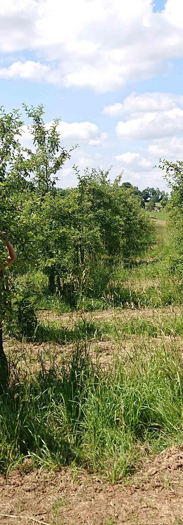 Eclaircissage Pommes