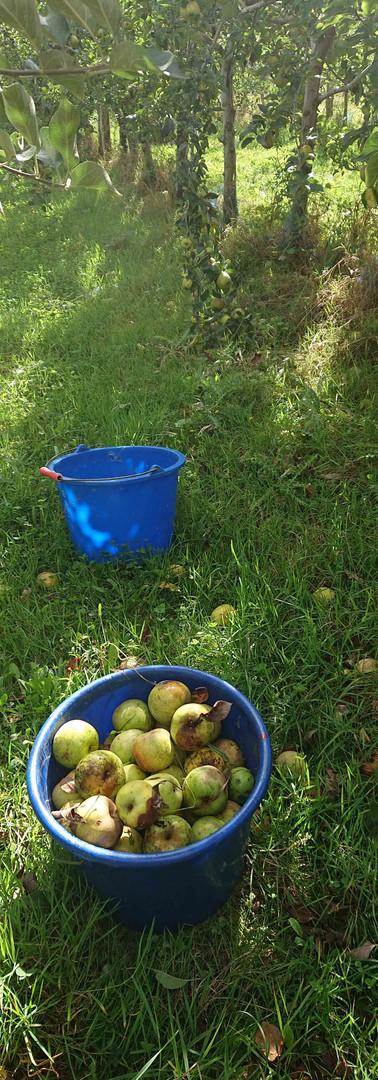 Pommes pour les jus