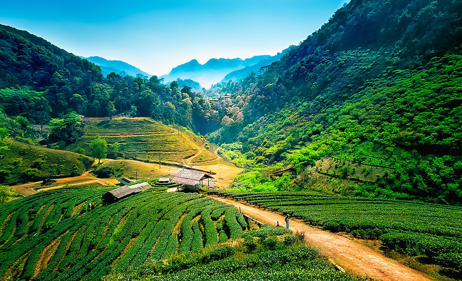 Tea plantations on angkhang mountain, ch