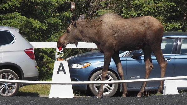 Moose-920x518.jpeg