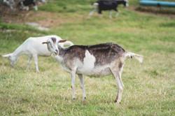 Goat at the farm
