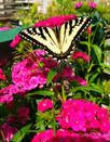 Butterfly & Perennials