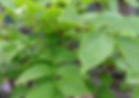 Green leaves 2 Jul 19.jpg