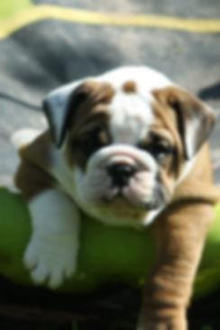 Der BEA,Bulwye-Bulls Bulldogs Bastheim