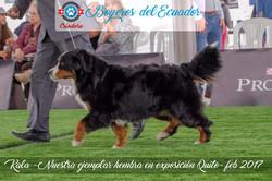 Boyero de Berna Ecuador
