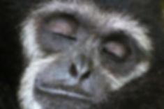 Vitaliy Anohkin  - sleeping gibbon