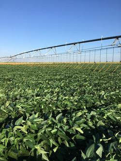 HLDCM on Soybeans