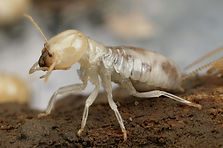 Image of a termite. Mastotermes darwiniensis. they chew out didgeridoos