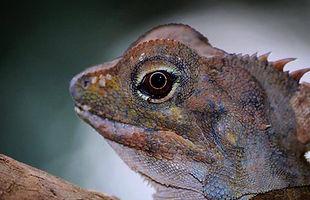 lizard, animal, reptile, fauna