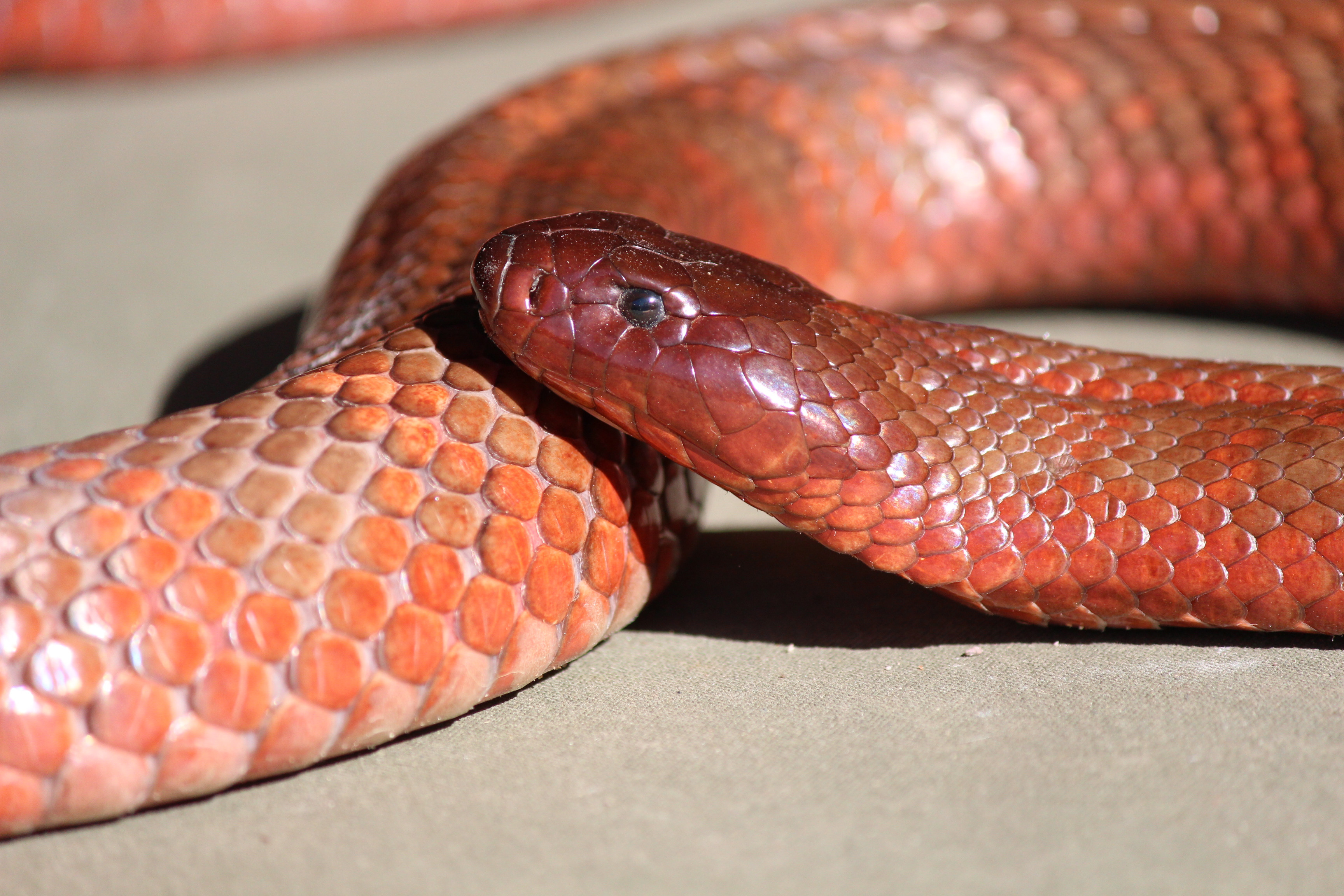 Advance Snake Relocation Course