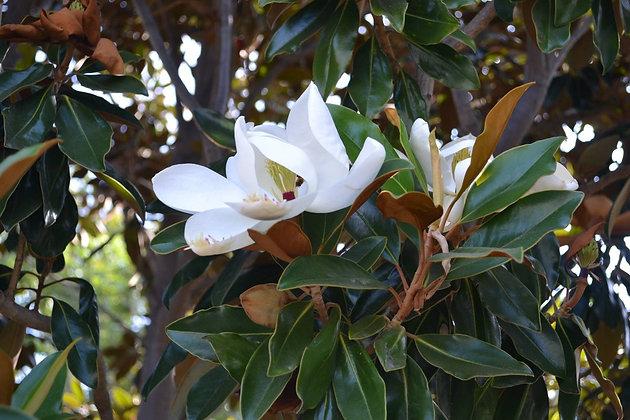 Southern Magnolia 'Little Gem'