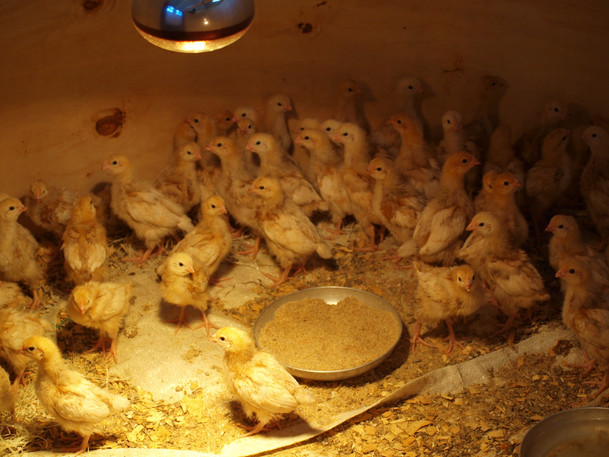 Baby chicks at the farm