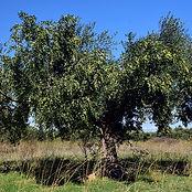 olive-tree-2846490_640.jpg