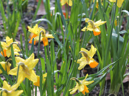 Downpours and Daffodils