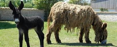poitou long haired donkey