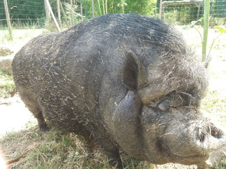 Truffle our very own pig!