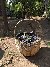 red grapes tintore