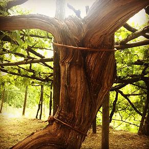 500 years old vine
