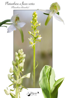 Platanthère à fleurs vertes(Platanthera chlorantha)