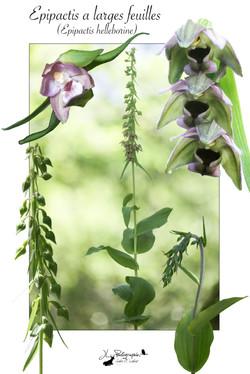Epipactis à larges feuilles (Epipactis helleborine)