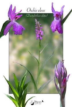 Orchis élevé (Dactylorhiza elata)