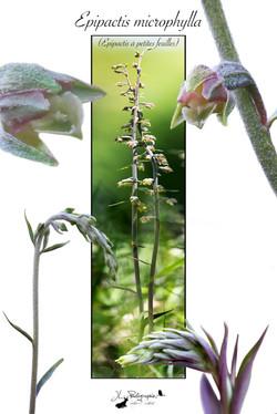 Epipactis microphylla (Épipactis à petites feuilles)