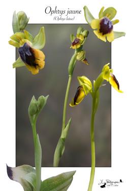 Ophrys jaune (Ophrys lutea)