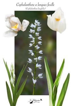 Céphalanthère à longues feuilles(Cephalanthera longifolia)