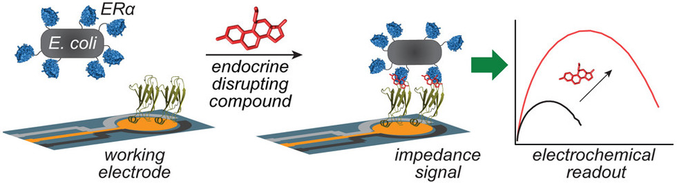 Electrochemical detection of endocrine-disrupting compounds