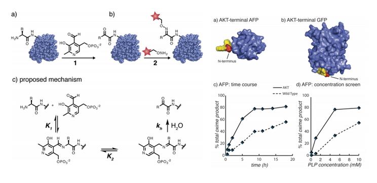 PLP transamination of protein N-termini