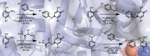 Oxidative coupling strategies for protein modification