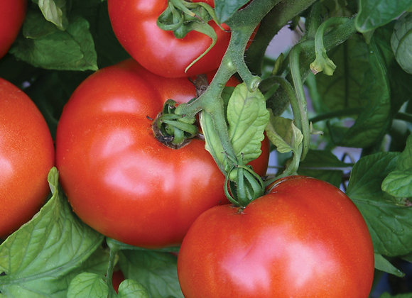 Season Starter Tomato