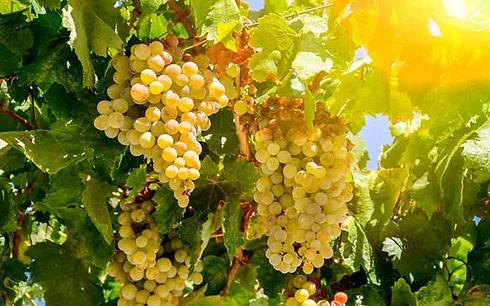 cepage-vigne-vin-sauvignon-blanc-696x435