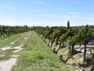 Is Organic wine better?