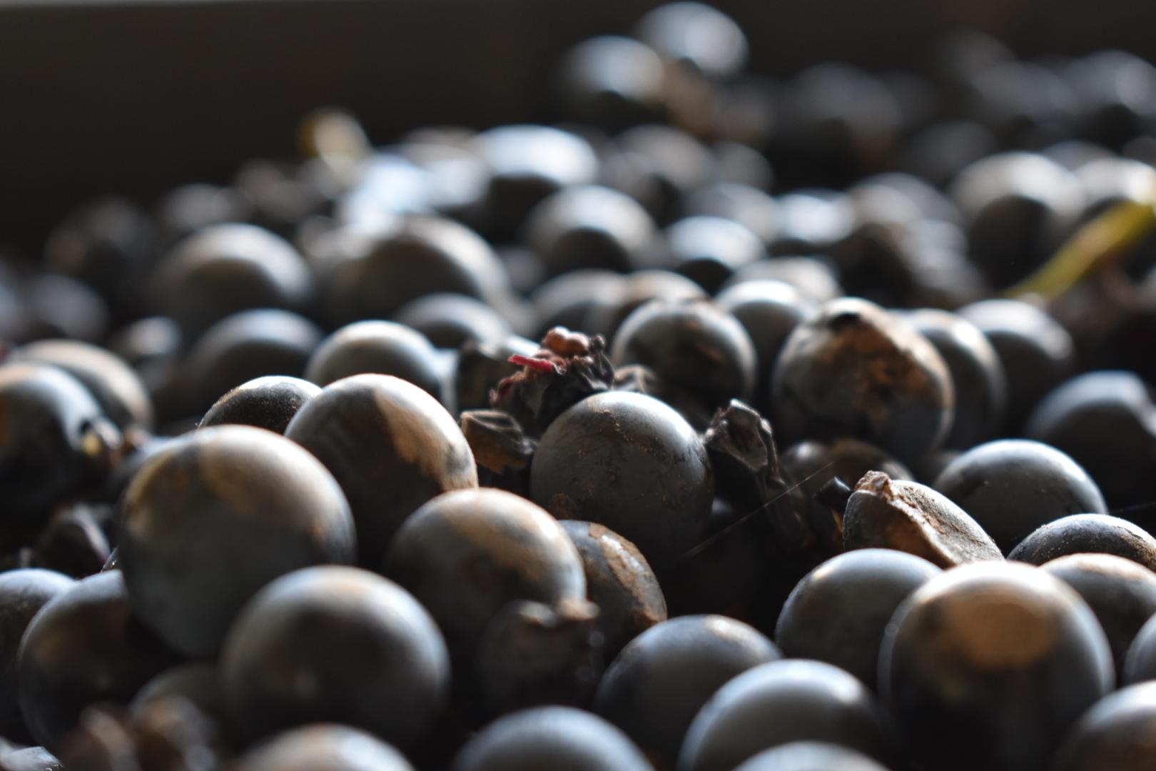 RedPuro Organic Malbec grapes