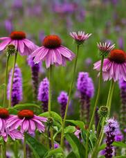 Echinacea2_edited.jpg