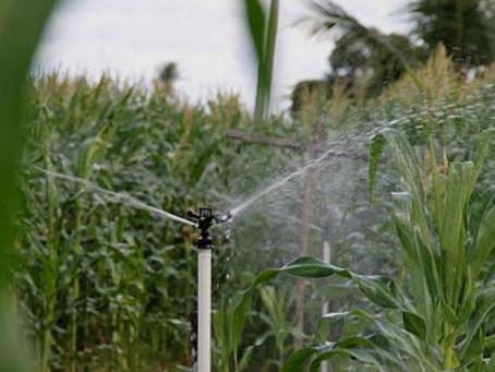 Milho irrigado e a alta produtividade
