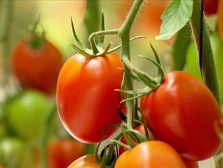 Produzir tomate pode ser fácil, mas precisa planejar!!!