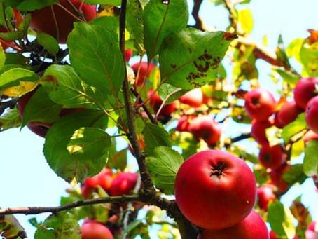 Quando podar a macieira?