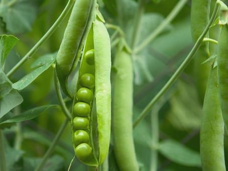 Produção de ervilha.
