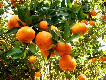 Tangerineiras: Podar para lucrar