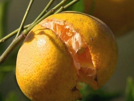 Rachadura de frutos em citros