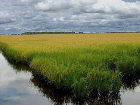 Nitrogênio em cobertura e a entrada da água no cultivo de arroz